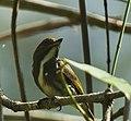 Olive-backed Flowerpecker.jpg