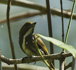 Olive-backed Flowerpecker.jpg