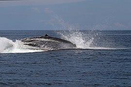 Omura's whale (Balaenoptera omurai) breaching.jpg