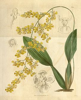 Oncidium cornigerum.jpg