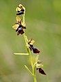 Ophrys insectifera - Kärbesõis Niitvälja 1.jpg