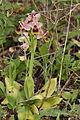 Ophrys tenthredinifera2.JPG