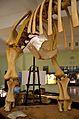 Opisthocoelicaudia Museum of Evolution in Warsaw 09.JPG