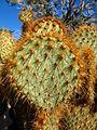 Opuntia chlorotica at South Astrodome 0263 RobbHannawacker.jpg