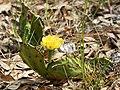 Opuntia humifusa (habitus).jpg
