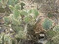 Opuntia stricta (5692185735).jpg