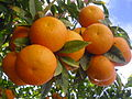 Oranges in the tree.JPG
