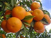 البرتقال 220px-Oranges_in_the