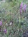 Orchis mascula Habitus 2009-4-16 DehesaBoyalPuertollano.jpg