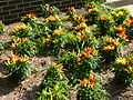 Ornamental peppers - P1100044.JPG