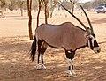 Oryx (37689612766).jpg