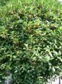 Osmamthus fragrans var thunbergii1.jpg