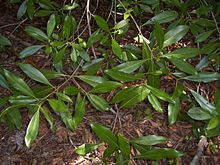 Osmanthus americanus leaves.jpg