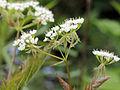 Osmorhiza longistylis 5473228.jpg