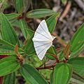 Ourapteryx picticaudata (Geometridae- Ennominae- Ourapterygini) (22662345220) (2).jpg