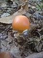 Ovulo (Cocco) Sasso Pisano.JPG