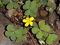 Oxalis corniculata (15349965171).jpg