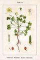 Oxalis corniculata Sturm10.jpg
