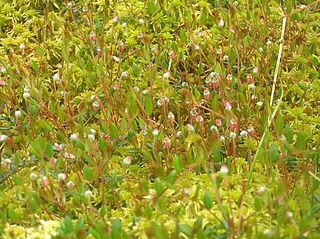 Kľukva močiarna (Oxycoccus palustris) - v kvete