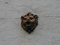Périgueux rue Taillefer 11 lion.jpg