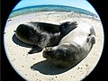 PMNM - monk seals on crab island (27985946735).jpg