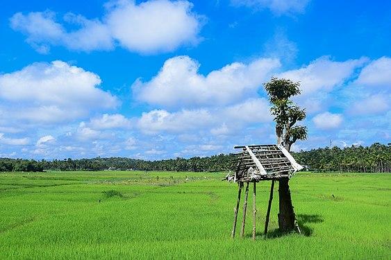 Paddy field in Wayanad 3.jpg