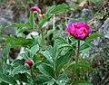 Paeonia officinalis 2.jpg