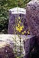Paestum-142-Steine-Blume-1986-gje.jpg