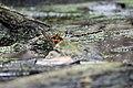 Painted Turtle (17274394744).jpg