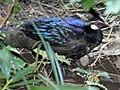 Palawan Peacock-Pheasant RWD.jpg
