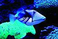 Palma Aquarium-Pez picasso.jpg