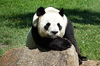 Panda géant (Ailuropoda melanoleuca) (1).jpg