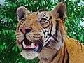 Panthera tigris 01.JPG