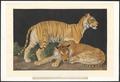 Panthera tigris tigris - 1753-1834 - Print - Iconographia Zoologica - Special Collections University of Amsterdam - UBA01 IZA1000218.tif
