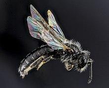 Panurginus, species A, Sounth Dakota, Side 2012-08-31-22 (7918566564).jpg