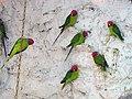 Papageien طوطی 11.jpg