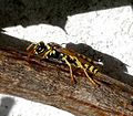 Paper Wasp. Polistes sp. (dominula ^) - Flickr - gailhampshire.jpg