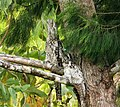 Papuan Frogmouth. Podargus papuensis (48716812873).jpg