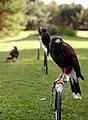 Parabuteo unicinctus -falconry show-8a (4).jpg