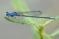 Paracercion malayanum lateral view.jpg