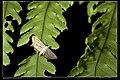 Parapoynx villidalis (10495560144).jpg