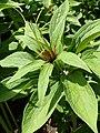 Paris polyphylla kz04.jpg