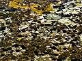 Parterre Echinometra lucunter.jpg