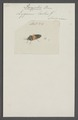 Paryphes - Print - Iconographia Zoologica - Special Collections University of Amsterdam - UBAINV0274 040 04 0030.tif