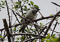 Passer domesticus - House Sparrow - Serçe.jpg