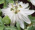 Passiflora caerulea Constance Elliot.jpg