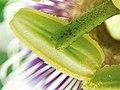 Passiflora edulis-Stamen 02.jpg