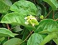 Passiflora edulis flavicarpa (inflorescence).jpg