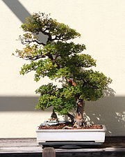 Pauper's Tea bonsai 115, October 10, 2008.jpg