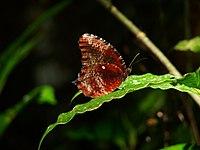Peal's Palmfly (Elymnias pealii).jpg
